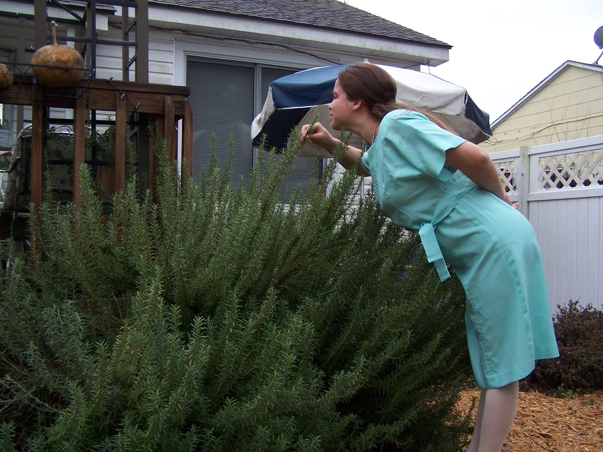 Wordless Wednesday: Really tall rosemary | BrightHaven Days